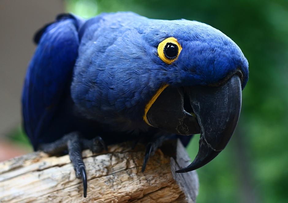 pin blue macaw bird - photo #28